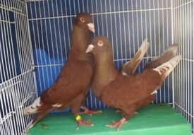 Pure lebanese and afghan pigeons.