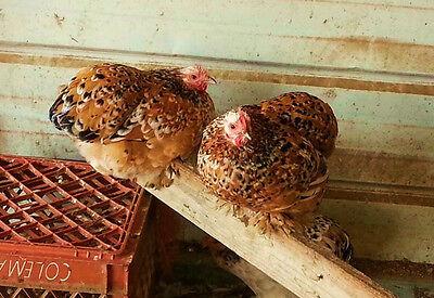 12 Npip Mille Fleur Straight Cochin Bantam Fertile Hatching Eggs