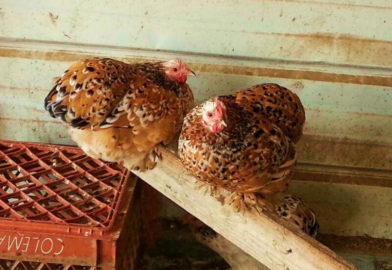 6+ NPIP *MILLE FLEUR* straight & frizzled COCHIN BANTAM fertile hatching eggs