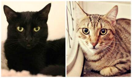 AK0657: Candy AK0655: Cinnamon- CATS for ADOPTION - Vet work incl Scarborough Stirling Area Preview
