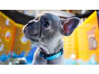 PERFECT FRENCH BULLDOG LILAC PUPPIES || KC REG || READY 1ST MARCH || C