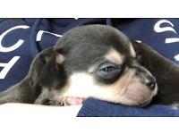 Boy Chihuahua puppy