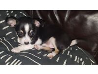 Pure breed female Chihuhua puppy