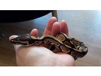 Normal royal python