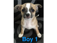 FOR SALE 4 Gorgouse chihuahua