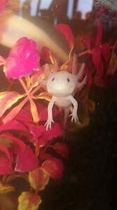 Baby Axolotls
