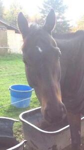 17.2hh Unraced Thoroughbred