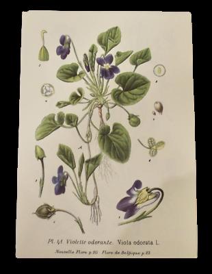 Planche ancienne Botanique art print illustration Flore p41 Violette Odorante