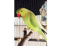 Green baby Indian ring neck parrot bird