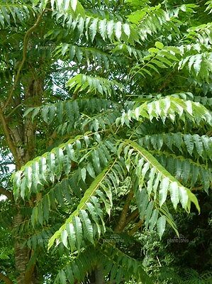 Toona sinensis CHINESE TOON TREE Seeds! EXOTIC!