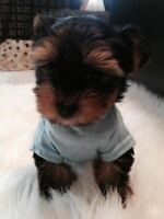 TCup Yorkie Lucas ~ For Sale