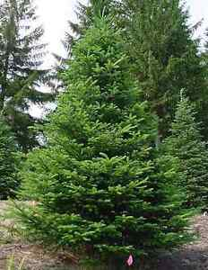 Christmas Tree for SALE Fraser Fir Oakville / Halton Region Toronto (GTA) image 2