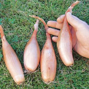 SCALOGNO-ZEBRUNE-50semi-grande-allungato-cuisse-de-poulet-banana-shallot-cipolla