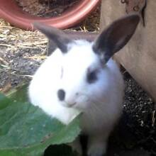 Gorgeous Baby Lop Bunnies - Multiple Colours Pretty Beach Gosford Area Preview