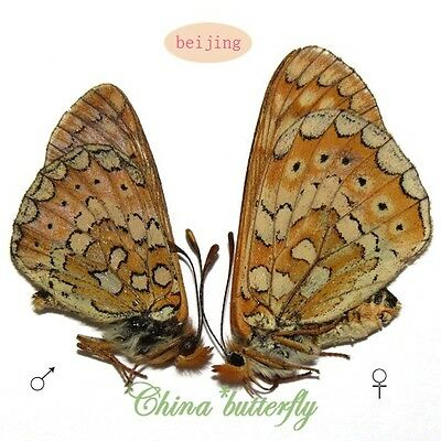 Fresh 2013 Rare Pair  Uphydryas Aurinia Mandschuric   Male A1    Female A1