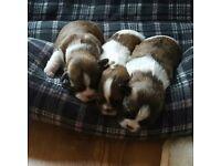 shih tzu / Bichon cross puppies for sale