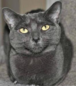 "Adult Female Cat - Domestic Short Hair: ""Miss Blue"""