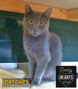 """Adult Male Cat - Domestic Short Hair: """"Patches"""""""