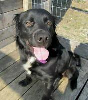 "Adult Male Dog - Retriever-Bernese Mountain Dog: ""Buddy"""