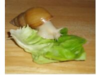 Giant African land snails (young )