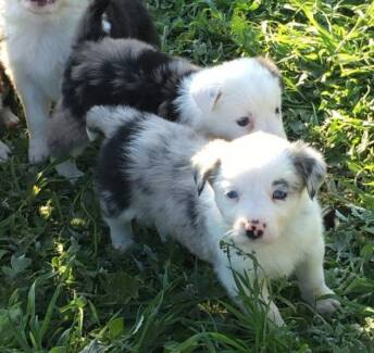 Blue Merle and Black and White Border Collies Gungahlin Area Preview
