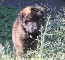 German Shepherd Puppies Gulgong Mudgee Area Preview