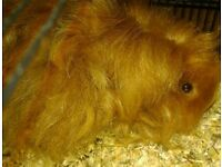 Beautiful long haired Guinea Pig 6months old