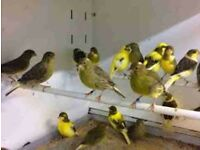 Canaries.