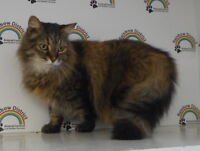MAINE COON mix  -- Fixed & Vaccinated  -- @ Small Things