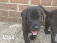 Labrador Puppies *3 Left* Ready to go!