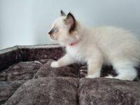 Pure Bred Ragdoll Kitten Male