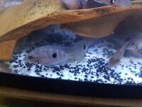 TROPICAL FISH FOR SALE Cumbernauld G68 9NS