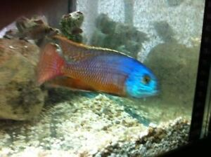Super red Redempress. African Cichlid.Malawi.