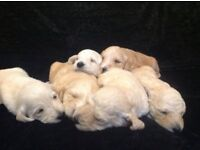 Labradoodle Puppies (apricot/cream/red/white) For Sale Northampton Northamptonshire