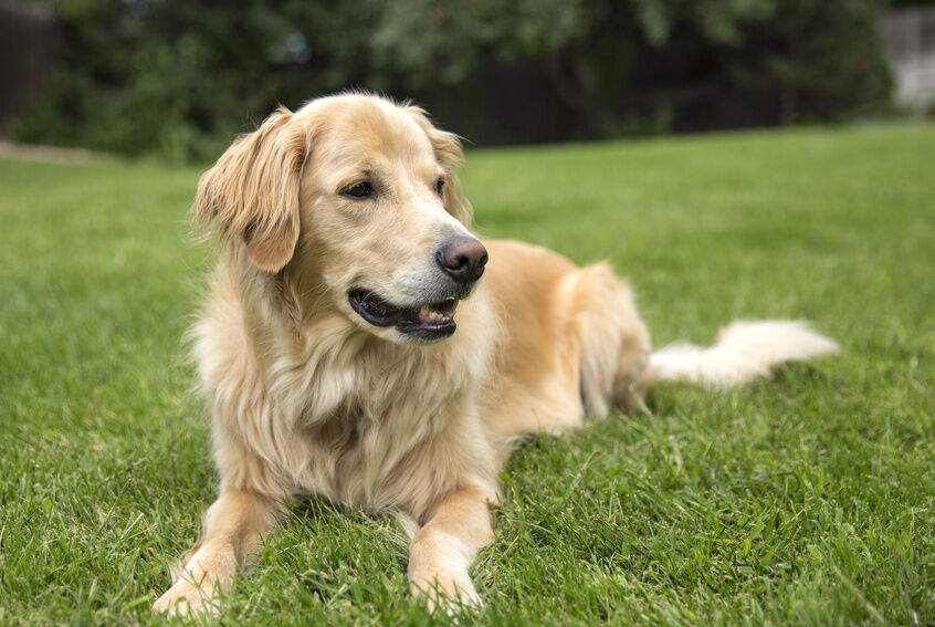 5 Year Male Labrador Cross Collie And German: Top 10 Most Popular Dogs