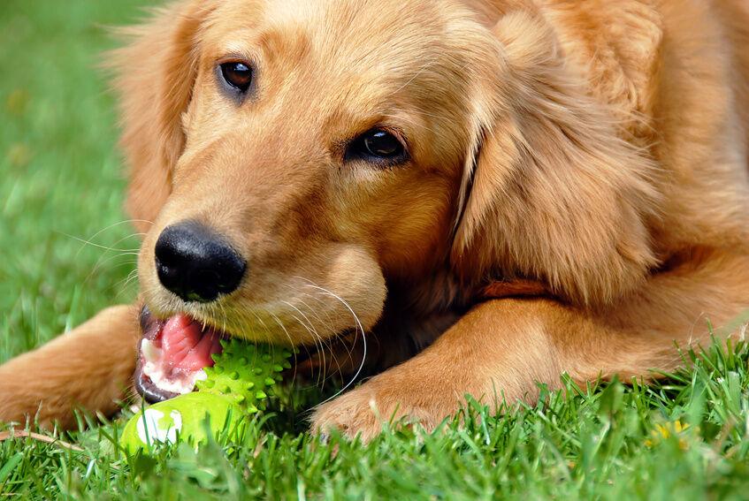 Hundespielzeug in Form von Knochen