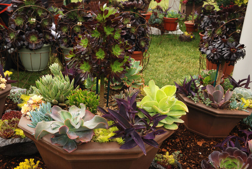 How to grow echeveria from seed ebay Can succulents grow outside