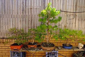 Quality Bonsai Pre-bonsai, Must go for landscape work, bargains Macquarie Links Campbelltown Area Preview