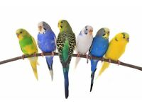 Colourful budgies