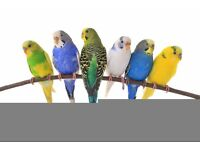 Colorful budgies