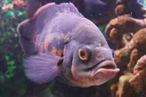 Large oscar cichlids Bomaderry Nowra-Bomaderry Preview