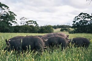 Salami Pigs for Sale ... Purebred Berkshire Millbrook Moorabool Area Preview
