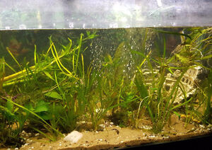 Fresh Water plants for sale