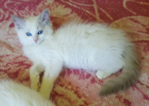 2 Female Spayed Ragdolls a bicolour and a mitted TICA Breeder