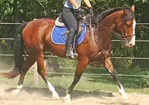 SWEETHEART LARGE PONY GELDING, SUPER ATHLETIC