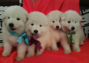 SAMOYEDS pppies