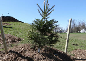 4-6ft WHITE SPRUCE TREES FOR SALE