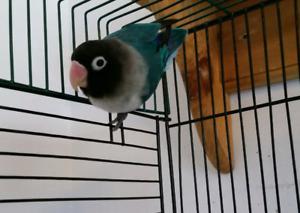 Beautiful Black Masked Lovebird Male For Adoption