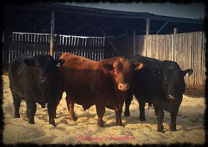 Angus bulls/ Taureaux angus
