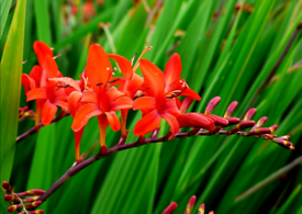 "Crocosmia ""Lucifer"" seeds."